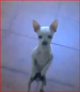 Chiuahuan Willy populäraste hunden i Spanien